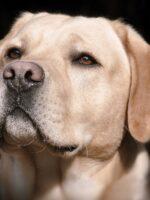 dog white Labrador